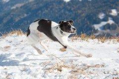 Bild-1043 Silken Windsprite Welpen