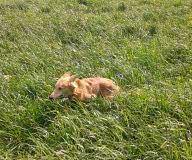 aik 028 Silken Windsprite Welpen