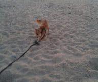 aik 195 Silken Windsprite Welpen