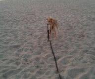 aik 200 Silken Windsprite Welpen
