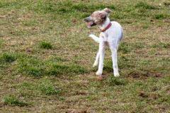 Exif_JPEG_PICTURE Silken Windsprite Welpen