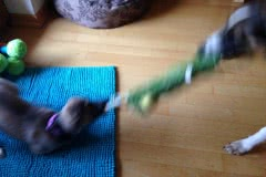 image-1 Silken Windsprite Welpen