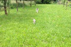 img_9915 Silken Windsprite Welpen