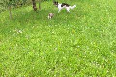 img_9919 Silken Windsprite Welpen