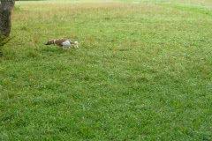 P1010486 Silken Windsprite Welpen