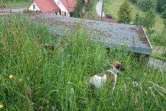 IMG-20140603-WA0012 Silken Windsprite Welpen