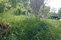 IMG-20140603-WA0022 Silken Windsprite Welpen