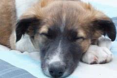 Hunde 104 Silken Windsprite Welpen