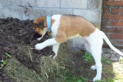 Hunde 148 Silken Windsprite Welpen