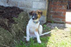 Hunde 149 Silken Windsprite Welpen