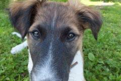 Hunde 150 Silken Windsprite Welpen