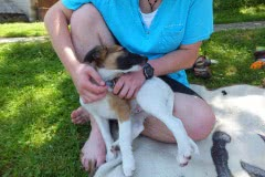 Hunde 155 Silken Windsprite Welpen