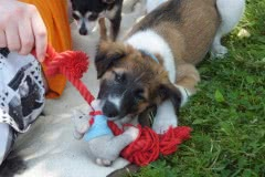Hunde 162 Silken Windsprite Welpen
