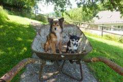 Hunde 164 Silken Windsprite Welpen