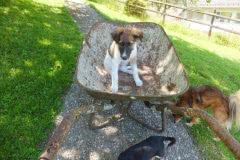 Hunde 165 Silken Windsprite Welpen