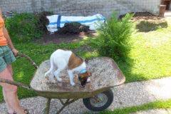 Hunde 169 Silken Windsprite Welpen