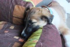Hunde 189 Silken Windsprite Welpen
