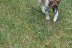 Hunde 379 Silken Windsprite Welpen