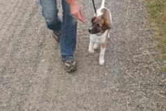 Hunde 388 Silken Windsprite Welpen