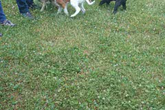Hunde 411 Silken Windsprite Welpen