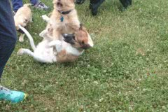 Hunde 416 Silken Windsprite Welpen