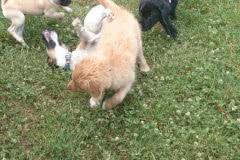 Hunde 420 Silken Windsprite Welpen