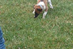 Hunde 458 Silken Windsprite Welpen