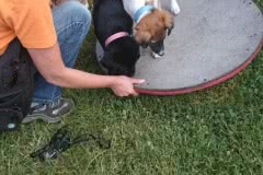 Hunde 499 Silken Windsprite Welpen