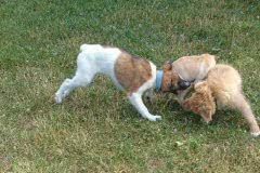 Hunde 519 Silken Windsprite Welpen