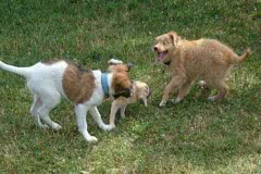 Hunde 520 Silken Windsprite Welpen