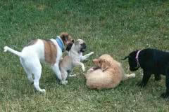 Hunde 521 Silken Windsprite Welpen