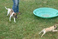 Hunde 525 Silken Windsprite Welpen