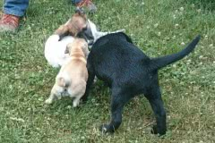Hunde 527 Silken Windsprite Welpen