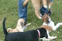 Hunde 528 Silken Windsprite Welpen