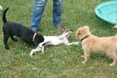 Hunde 530 Silken Windsprite Welpen
