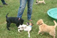 Hunde 531 Silken Windsprite Welpen