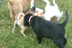 Hunde 534 Silken Windsprite Welpen