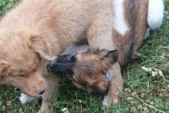 Hunde 535 Silken Windsprite Welpen
