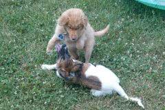 Hunde 536 Silken Windsprite Welpen