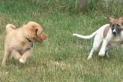 Hunde 537 Silken Windsprite Welpen