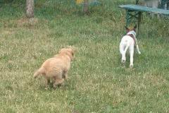 Hunde 538 Silken Windsprite Welpen
