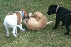 Hunde 542 Silken Windsprite Welpen
