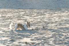 _DSC1655b Silken Windsprite Welpen