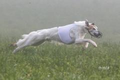 Fidelio-Coursing Silken Windsprite Welpen