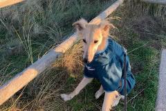 IMG_4454 Silken Windsprite Welpen