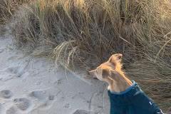 IMG_4475 Silken Windsprite Welpen