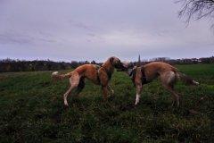 DSC_0523 Silken Windsprite Welpen